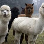 Alpaca447_6deb2d0476